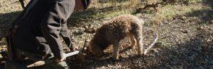 chien renifleur de truffes noirs