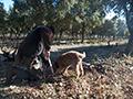 chien renifleur de truffes noirs provence